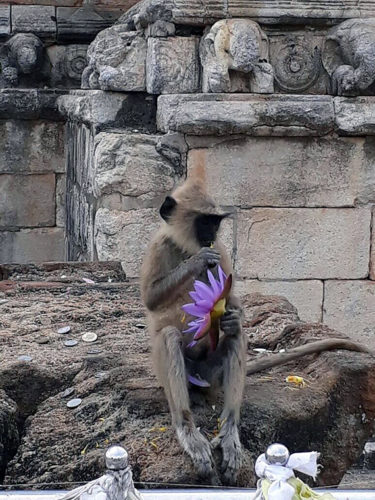 mischievous monkey with lotus flower