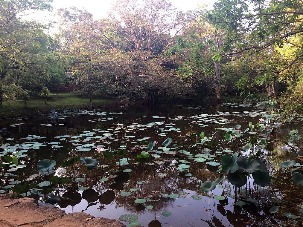 murky pond with lotus flowers